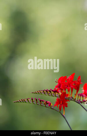 Montbretia Crocosmia 'Lucifer' - Stock Photo
