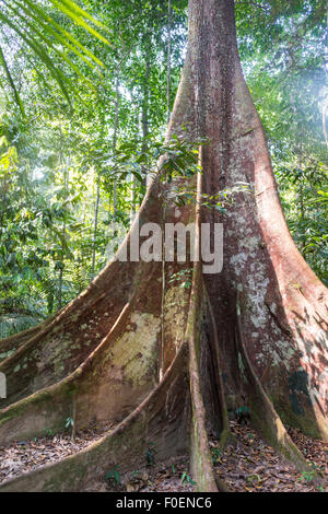 Buttress roots of an old forest giant in the jungle, tropical giant tree in the rainforest, Taman Negara, Malaysia - Stock Photo
