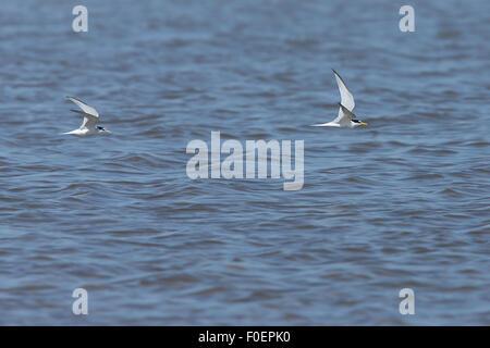 Little Terns (Sterna albifrons) two in flight over the Bonanza Saltpans, Sanlucar de Barrameda, Andalucia, Spain. - Stock Photo