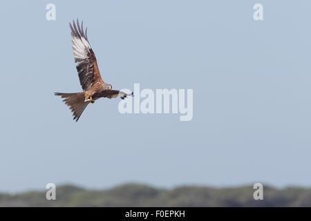 Red Kite (Milvus milvus) in flight over the Bonanza Saltpans, Sanlucar de Barrameda, Andalucia, Spain. - Stock Photo