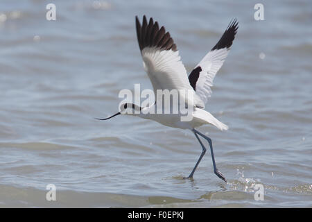 Pied Avocet (Recurvirostra avosetta ), taking flight over the Bonanza Saltpans, Sanlucar de Barrameda, Andalucia, - Stock Photo