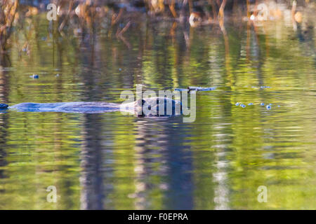 Beaver swimming and seen from the side in profile, in Norrbotten, Sweden - Stock Photo