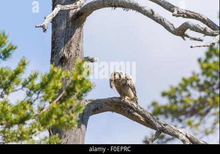 Adult Northern hawk-owl, Surnia ulula, sitting in an old tree with a vole in his beak, Gällivare, Swedish Lapland, - Stock Photo