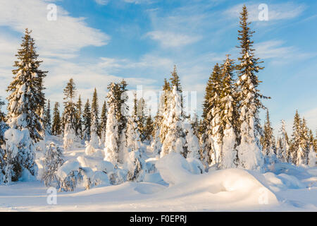 Snowy spruces and blue sky, Gällivare, Swedish lapland, Sweden - Stock Photo