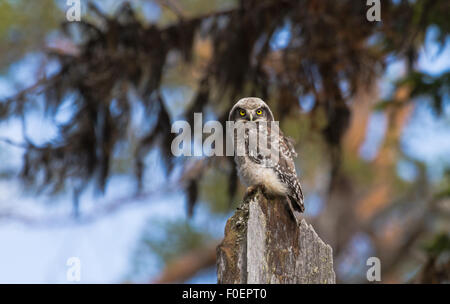 juvenile Northern hawk-owl, Surnia ulula, sitting on old tree trunk, looking in to camera and lichen hanging in - Stock Photo