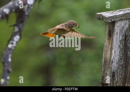 Common Redstart, Phoenicurus phoenicurus, coming with food in his beak to go in her birdhouse - Stock Photo