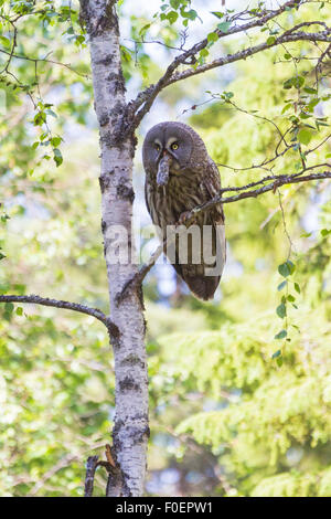 Great grey owl, Strix nebulosa lapponica, sitting in a birch with a vole in his beak - Stock Photo