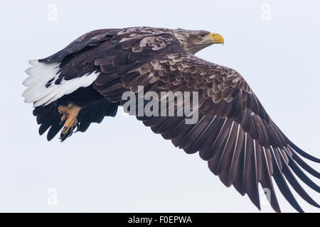 A close up photo on a White-tailed eagle, Haliaeetus albicilla, flying - Stock Photo