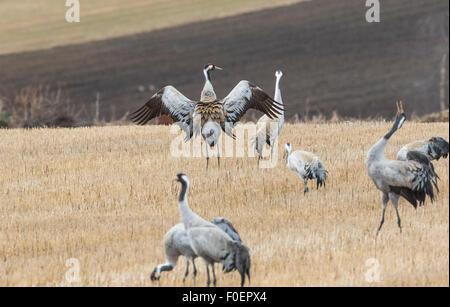 Cranes, Grus grus, on a field, dancing, Boden, Norrbotten, Sweden - Stock Photo