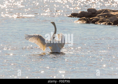Whooper swan, Cygnus cygnus, standing up in the water and flapping his wings, bright sunshine making reflections - Stock Photo