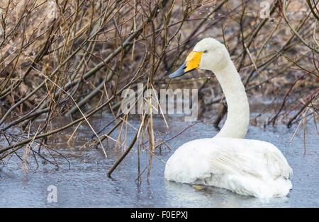 Whooper swan, Cygnus cygnus,  lying in water and turning towards camera, Gällivare, Swedish Lapland, Sweden - Stock Photo