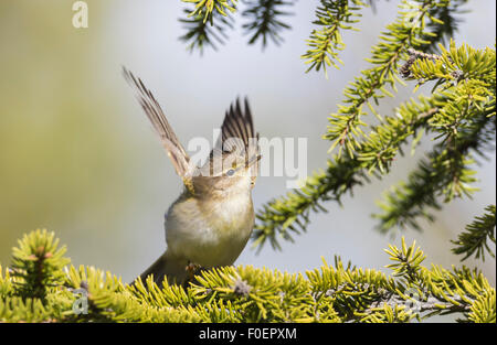 Willow warbler, Phylloscopus trochilus, sitting in a spruce and flaping wings, Gällivare, Swedish Lapland, Sweden - Stock Photo