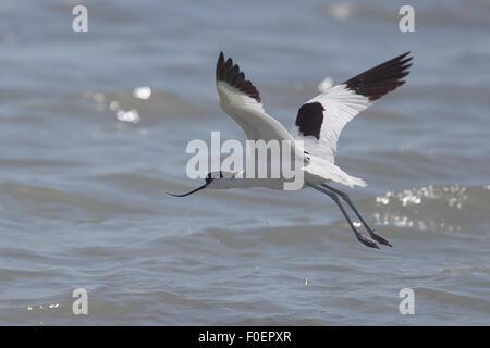 Pied Avocet (Recurvirostra avosetta ), in flight over the Bonanza Saltpans, Sanlucar de Barrameda, Andalucia, Spain. - Stock Photo