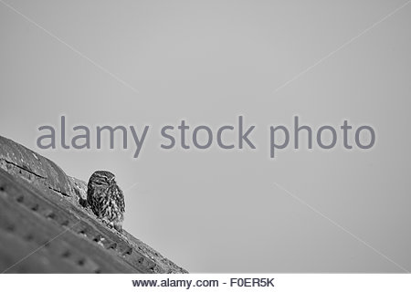A Little Owl perched on the roof of an old building. - Stock Photo