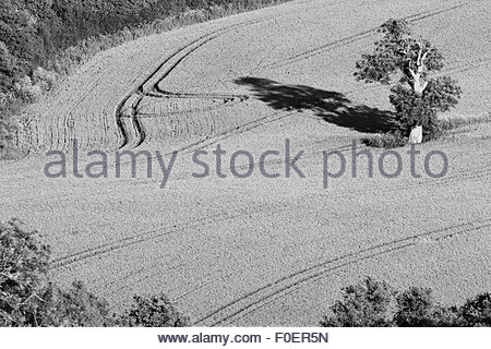 A view of a lone tree in a field of wheat. - Stock Photo
