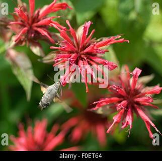 Goldmelisse rote, Monarda didyma, Taubenschwaenzchen, - Stock Photo