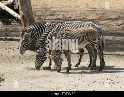 Group of three East African Grévy's zebras or Imperial zebras (Equus grevyi) feeding together - Stock Photo
