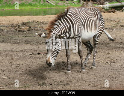 East African Grévy's zebra or Imperial zebra (Equus grevyi) - Stock Photo