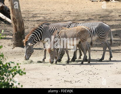 Three grazing East African Grévy's zebras or Imerial zebras (Equus grevyi), two mature animals and one foal - Stock Photo
