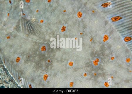 European plaice (Pleuronectes platessa) close up, Moere coastline, Norway, February 2009 - Stock Photo