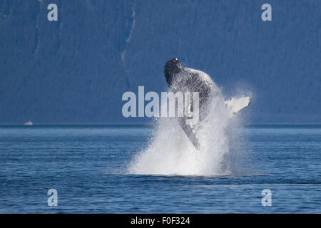Humpback whale breaches in Icy Strait, SE Alaska - Stock Photo