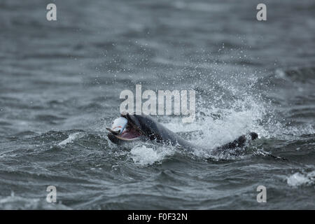 Large adult Bottlenose Dolphin hunting down salmon in the waters of the Moray Firth, Scotland. - Stock Photo
