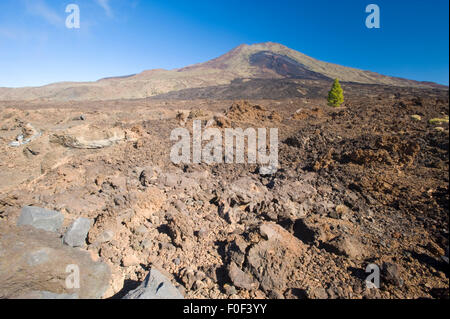 Single Canary pine tree (Pinus canariensis) growing in lava field of the Pico Viejo Volcano, Teide National Park, - Stock Photo