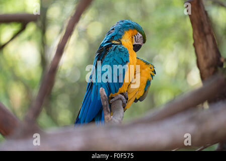 A colorful Macaw sitting on a branch surrounded by trees lifting its wing. - Stock Photo
