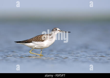Common Greenshank walking at the shallow water - Stock Photo