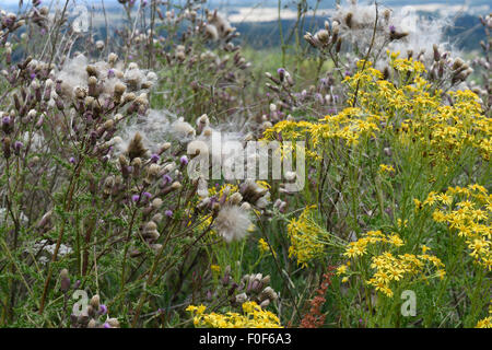 Creeping thistle, Cirsium arvense, flowers and fluffy thistledown seeds with yellow flowering ragwort, Berkshire, - Stock Photo