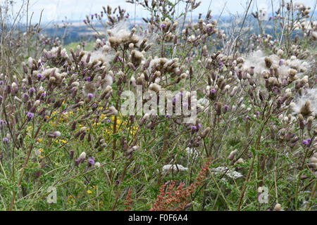 Creeping thistle, Cirsium arvense, flowers and fluffy thistledown seeds, Berkshire, July - Stock Photo