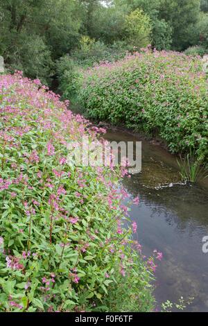 The invasive Himalayan Balsam (Impatiens glandulifera) along an English waterway, England, UK
