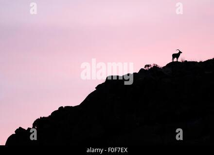 Male Spanish ibex (Capra pyrenaica) silhouetted on rocks at sunrise, Sierra de Gredos, Spain, November 2008 - Stock Photo