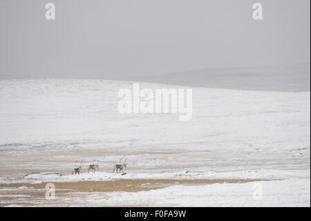 Three Reindeer (Rangifer tarandus) walking through snowy landscape, Forollhogna National Park, Norway, September - Stock Photo