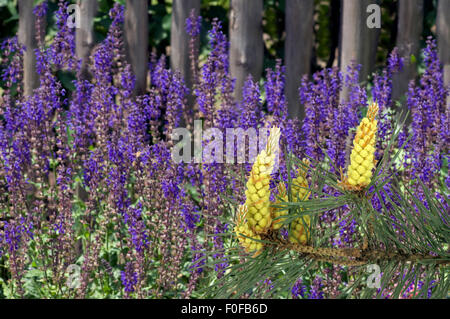 Steppen-Salbei; Salvia nemorosa, Kiefer, Pinus - Stock Photo
