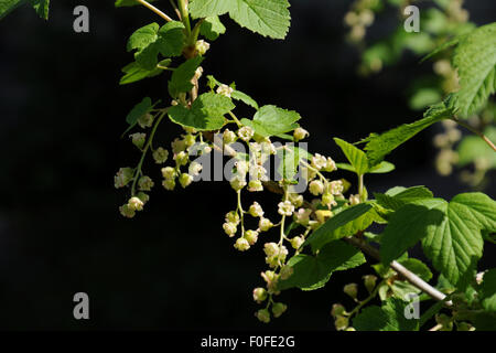 Branch of black currant blooming against a dark background. - Stock Photo
