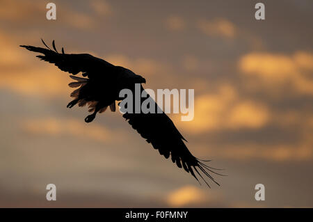 White tailed sea eagle (Haliaeetus albicilla) in flight, silhouetted, Flatanger, Nord Trøndelag, Norway, August - Stock Photo