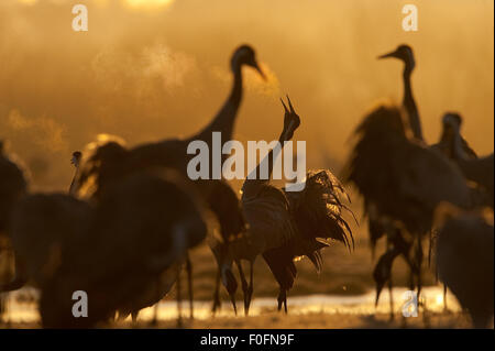 Common / Eurasian crane (Grus grus) displaying at sunrise, Lake Hornborga, Hornborgasjön, Sweden, April 2009 - Stock Photo