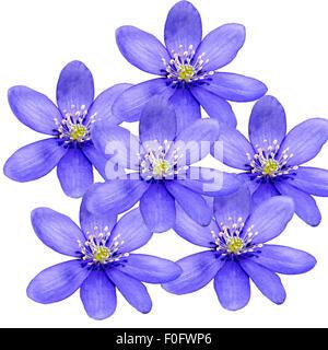 Leberbluemchen, Hepatica, nobilis, Winterblueher, Anemone hepatica, blaue blueten, blau, Blume des Jahres 2013, -