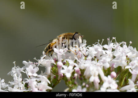 A drone fly, Eristalis tenax, adult predator hover-fly feeding on the flower of common valerian, berkshire, July - Stock Photo