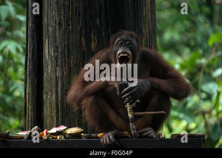 Adult female Bornean orangutan laughing Sepilok Sanctuary Sandakan Sabah Borneo Malaysia - Stock Photo