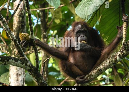 Adult female Bornean orangutan eating fruits on a tree in the wild Sandakan Sabah Borneo Malaysia - Stock Photo