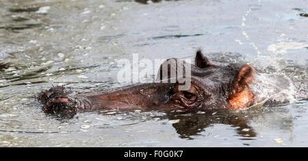 Portrait of common hippopotamus in the water Mara Naboisho conservancy Kenya Africa - Stock Photo