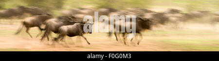 Blue or common wildebeests running during migration in Mara Naboisho conservancy Kenya Africa - Stock Photo