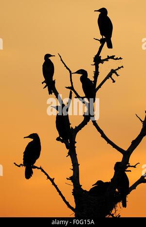 Great / Common cormorants (Phalacrocorax carbo) silhouetted in tree at sunrise, Lake Kerkini, Macedonia, Greece, - Stock Photo