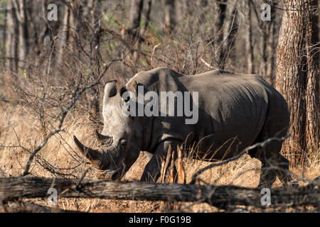 White rhinoceros or square-lipped rhinoceros in the forest Malilangwe Wildlife Reserve Zimbabwe Africa - Stock Photo