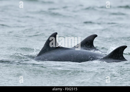 Three Bottlenosed dolphins (Tursiops truncatus) porpoising, dorsal fins showing, Moray Firth, Nr Inverness, Scotland, - Stock Photo