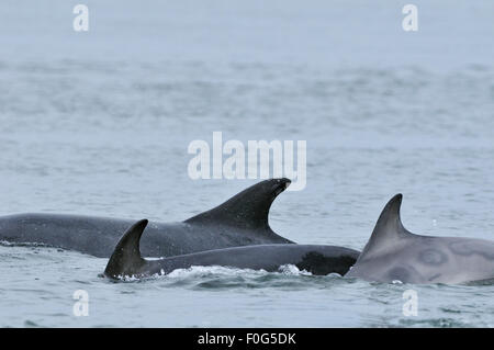 Three Bottlenosed dolphins (Tursiops truncatus) including a female with calf surfacing, Moray Firth, Nr Inverness, - Stock Photo