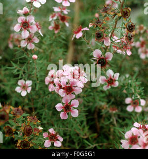 Rosenmyrte; Leptospermum scoparium; Heilpflanzen,  - - Stock Photo