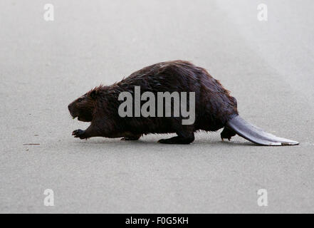 The big North American beaver is going across the road - Stock Photo